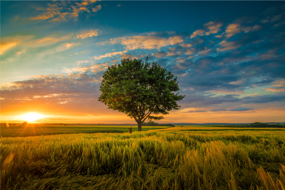 Wide angle shot single tree growing clouded sunset